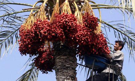 2021-08-25: Palmbomen uit tempelperiode produceren wonderbaarlijke dadeloogst – Temple era palms produce miraculous crop of dates